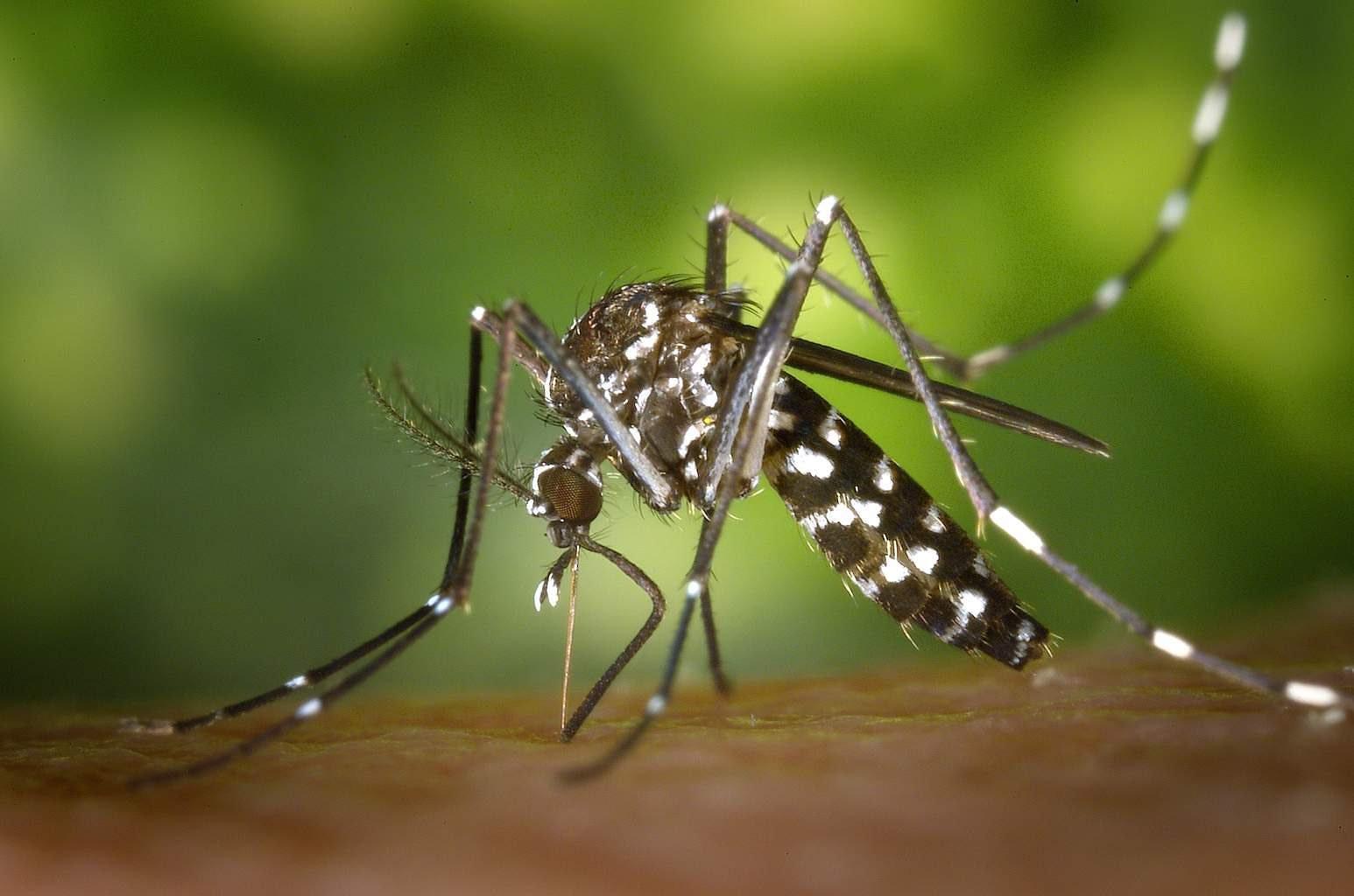 Mosquito Aeds albopticus adulto